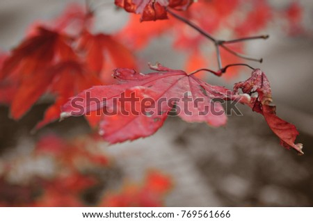 Red autumn leaves #769561666