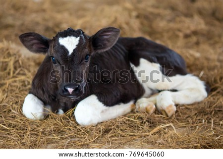 Young dairy calf Royalty-Free Stock Photo #769645060