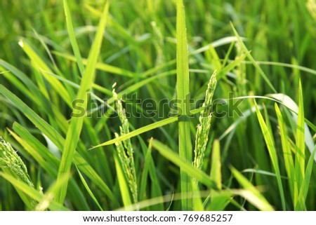 Young rice ears in the green field. #769685257