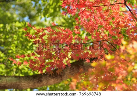 Landscape of vivid colored Japanese Autumn Maple tree branches #769698748