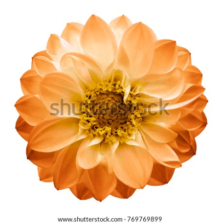 Autumn yellow-orange   flower dahlia on a white isolated background with clipping path. Closeup. Nature. #769769899