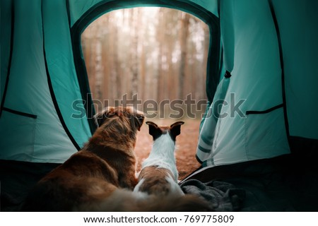 two dogs in a tent in the forest. travel with the pet. Nova Scotia Duck Tolling Retriever and a Jack Russell Terrier. adventure dog  #769775809