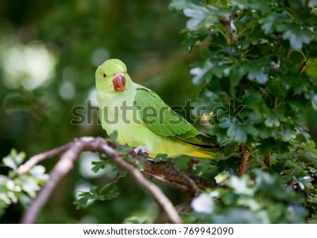 Rose-Ringed Parakeet  #769942090
