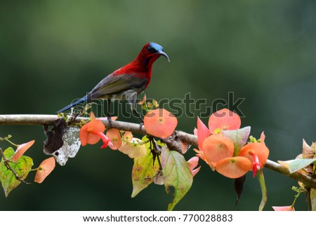 Crimson Sunbird  One of the most beautiful Sunbirds in Thailand, it is crimson; it is hard to miss when certain flowers are in bloom, they come for nectar as energy drink. #770028883
