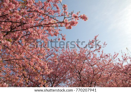 Kawazu cherry tree  #770207941