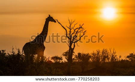 Giraffe in Kruger national park, South Africa ; Specie Giraffa camelopardalis family of Giraffidae Royalty-Free Stock Photo #770258203