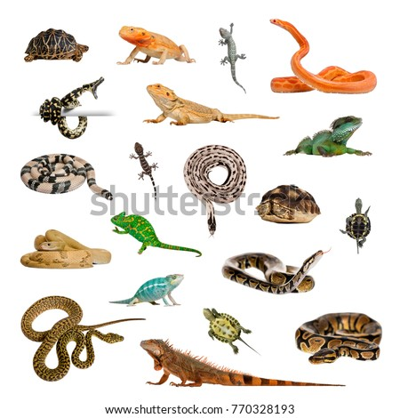 Large collection of reptile, pet and exotic, in different position, Isolated on white background. #770328193