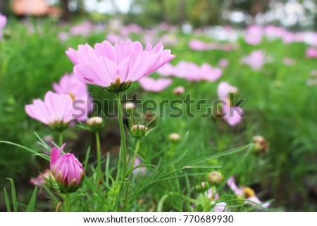 Close Up Beautiful Pink Colors of Cosmos Flowers in garden from Bangkok Thailand for Background or Wallpaper #770689930