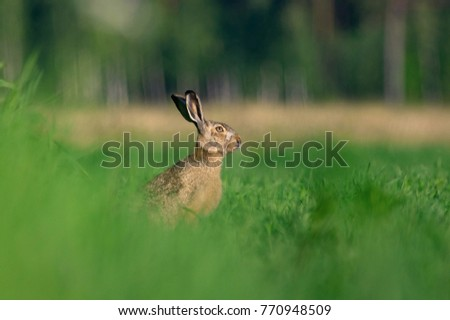 The European hare (Lepus europaeus) in a grassfield #770948509
