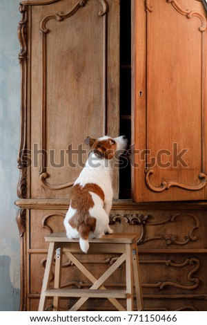 the dog looks in the closet. funny jack russell terrier #771150466