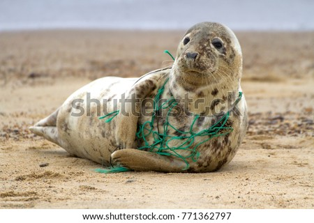 A Grey Seal at Horsey Beach in Norfolk England, tragically caught in a section of fishing net, an upsetting site that was reported to local animal welfare. #771362797