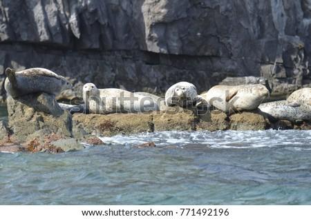 Rookery of Larga seals on the rocks in the sea of Japan. Archipelago Rimsky Korsakov Royalty-Free Stock Photo #771492196