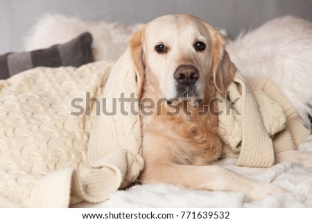 Adorable Golden Retriever Dog Cover Light Pastel Gray White Scandinavian Textile Decorative Coat Pillows for Modern Bed in House or Hotel. Pets care friendly concept. #771639532