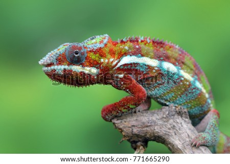 Beautiful color of chameleon panther on branch, chameleon panther on dry leaves, chameleon panther closeup, Chameleon panther on branch #771665290