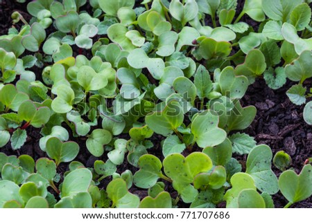 Background of small green and red radish sprouts, close view, horizontal aspect #771707686