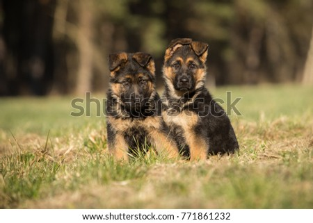 Two show line German shepherd puppies sitting in line #771861232
