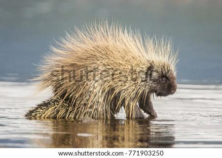 North American Porcupine Erethizon dorsatum in water in Teslin, Yukon, Canada