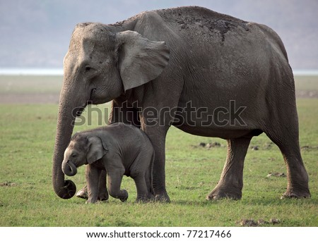 Wild Asian elephant mother and baby, Corbett National Park, India Royalty-Free Stock Photo #77217466