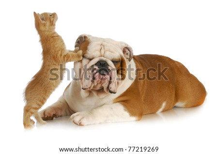 cat and dog - kitten climbing on english bulldog with reflection on white background #77219269