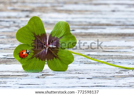 four leaf clover with ladybug on wood, copy space #772598137