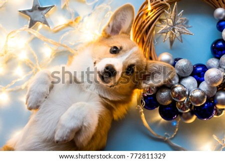 New Year's picture of welsh corgi on the floor. View from above