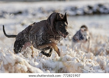 Sighthound running with coat #772821907
