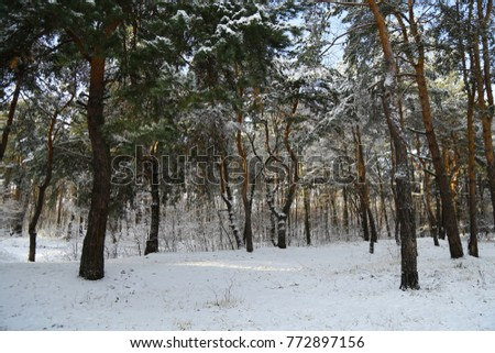 Winter, forest, snow. Snow-covered pine forest, trees in the snow, a beautiful winter landscape, nature.  #772897156