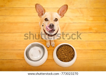 hungry  chihuahua podenco dog behind food bowl and water bowl, isolated wood background at home and kitchen #773023270