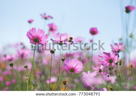 Sweet pink purple cosmos flowers in the field with blue sky background in cosmos field and  copy space useful for spring background or greeting card #773048791
