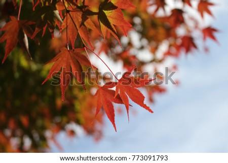 Maple leaves in Japan #773091793