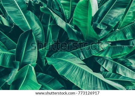 tropical banana leaf texture, large palm foliage nature dark green background #773126917