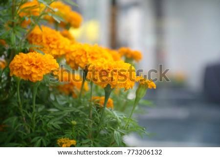 Fresh Marigold Flower #773206132