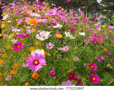 Cosmos flower in the field  #773253847