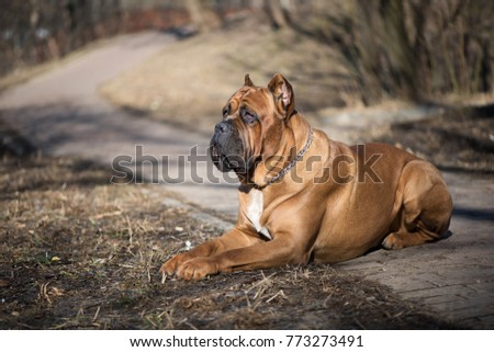 Italian cane-corso dog lie on the  in the winter park #773273491