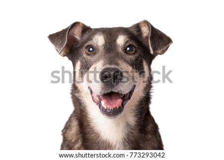 Closeup portrait photo of an adorable mongrel dog isolated on white #773293042