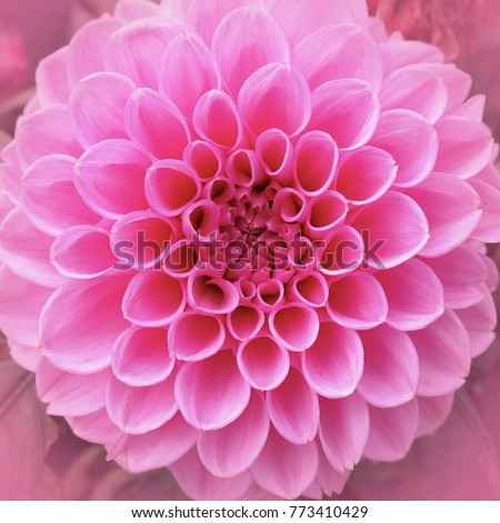Delicate petals of a pink round flower close-up, natural texture and rhythm #773410429