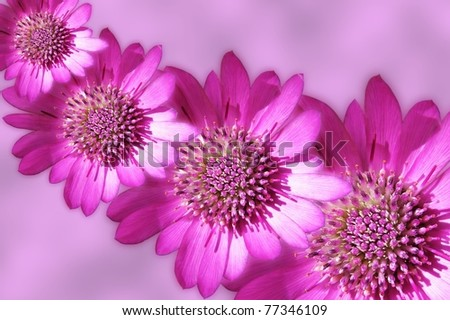 Pink strawflowers on pink background design
