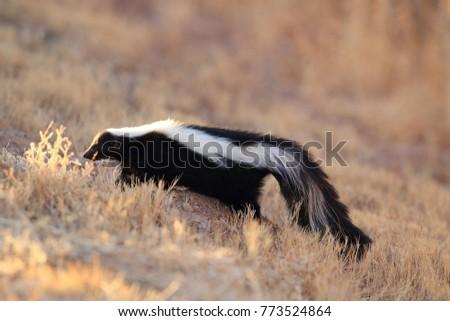 Skunk (Mephitis mephitis) New Mexico