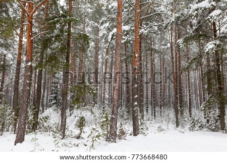 orange trunks of tall pine trees, snow-covered in winter, landscape #773668480