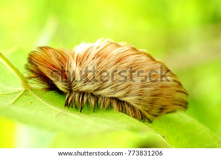A puss caterpillar in Arenal Volano National Park in Costa Rica #773831206