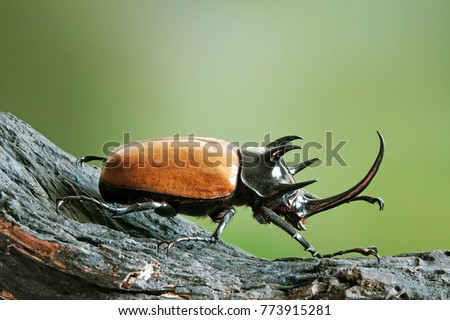 Five-horned rhinoceros beetle (Eupatorus gracilicornis) also known as Hercules beetles, Unicorn beetles, or Horn beetles. Selective focus, blurred nature green background. Beetles / Insects / Bugs #773915281