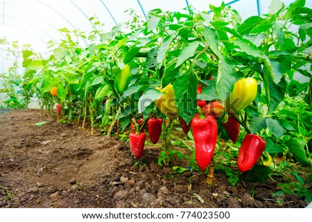 Growing sweet peppers in a greenhouse, photo with perspective. Fresh juicy red green and yellow peppers on the branches close-up. Agriculture - large crop of pepper #774023500