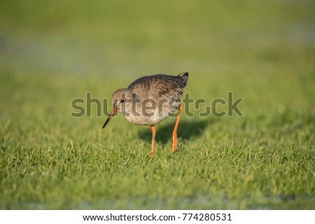 Redshank foraging for food in the winter in a frozen flooded field #774280531