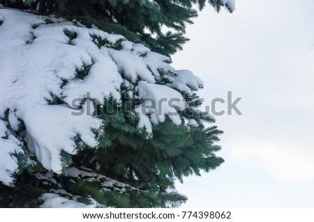 Green fluffy fir tree branch in the snow #774398062