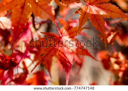 small red maple leaves on the side of Oyama, a sacred mountain located near Isehara, Kanagawa Prefecture, Japan #774747148