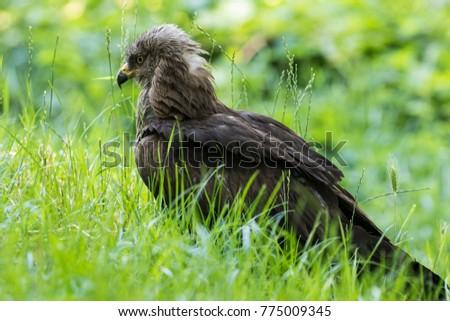 Black kite Milvus Migrans #775009345