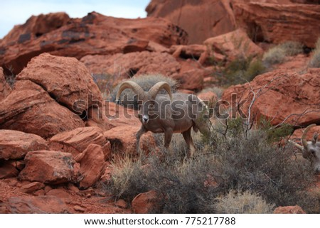 Bighorn sheep Valley of Fire Nevada #775217788