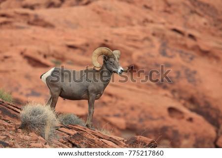 Bighorn sheep Valley of Fire Nevada #775217860