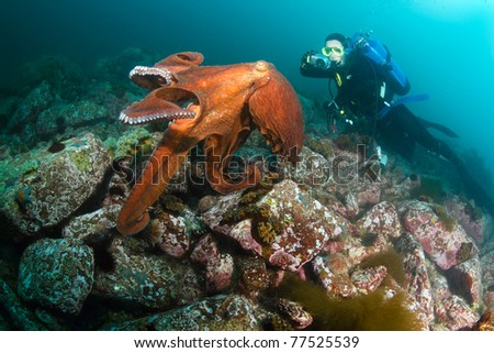 diver takes picture of giant octopus dofleini,under him - fringed blenny (warbonnet japonicus) peeps from boulder, september 2010, deep - 20 meters,  sea of japan, Russia