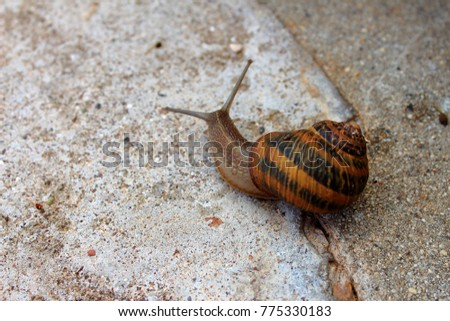 brown snail on the pavement  #775330183